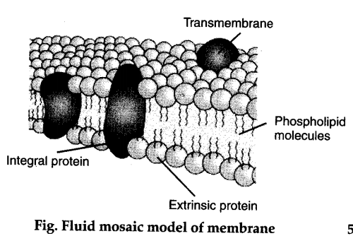 describe the fluid mosaic model for the cell membrane