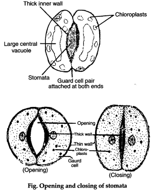 Explain the structure of stomata  What role do they play in