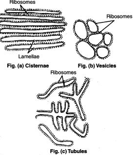 Elements of Endoplasmic Reticulum.