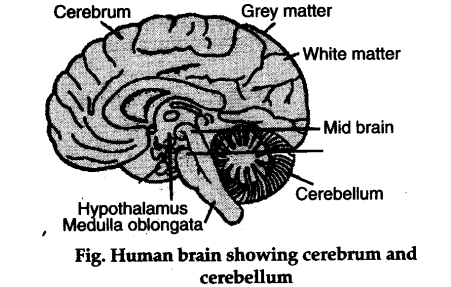 Explain the structure of brain with the help of diagram ...