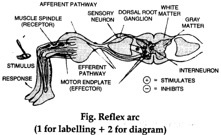 Draw a labelled diagram of reflex arc that operates when a person