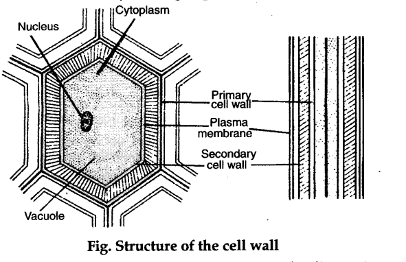 describe the structure of cell wall