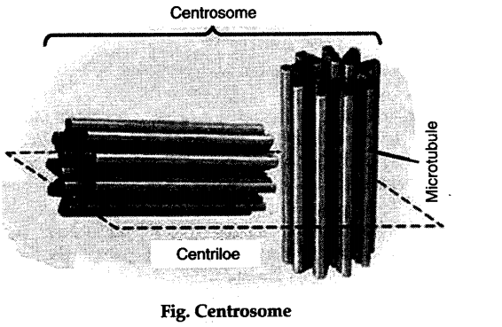 Describe The Structure Of Nucleus And Centrosome With The Help Of