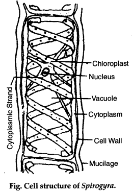 write in brief the structure of spirogyra cell