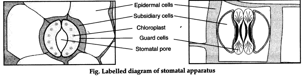 What is stomatal apparatus ? Explain the structure of