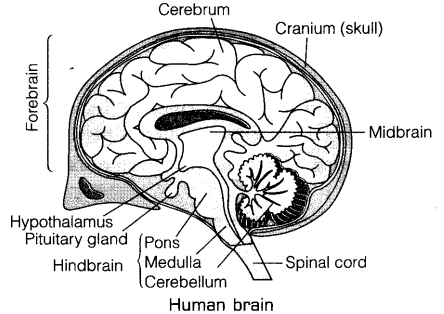draw a labelled diagram of human brain and mention the functions