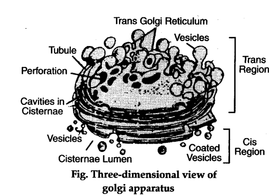 describe the ultrastructure and function of golgi