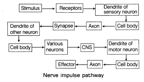 With the help of labelled diagram explain the general scheme to in this way the electrical signal reaches the brain or spinal cord the response from brain or spinal cord is similarly passed on to the effector ccuart Choice Image