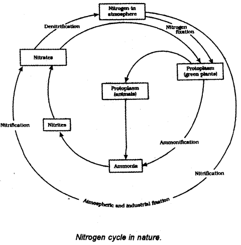 Describe the steps and process involved in the nitrogen cycle also fixing of nitrogen by n2 fixing bacteria which are found in root nodules of legumes or which are free living ammonification by bacteria in soil ccuart Image collections