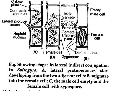 Spirogyra sexual reproduction