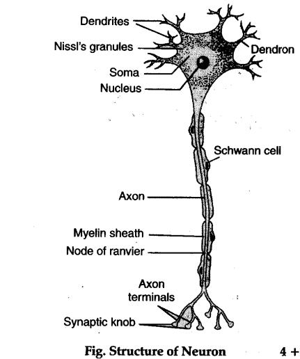 describe the microscopic structure of a neuron  also draw
