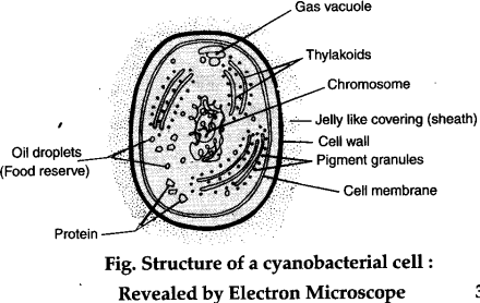Draw A Well Labelled Diagram To Show E M View Of A Cyanobacterial