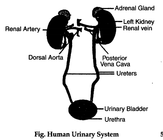 Describe the urinary system of humans with the help of well