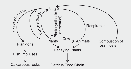 Explain the carbon cycle with the help of a simplified model cbse explain the carbon cycle with the help of a simplified model ccuart Images