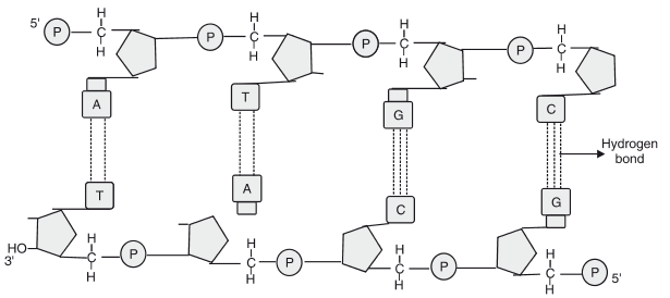 Draw s schematic diagram of a part of double stranded dinuleotide ...