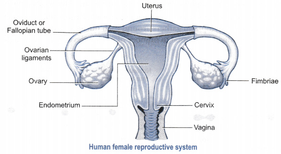 Draw a labelled    diagram    of a human female    reproductive
