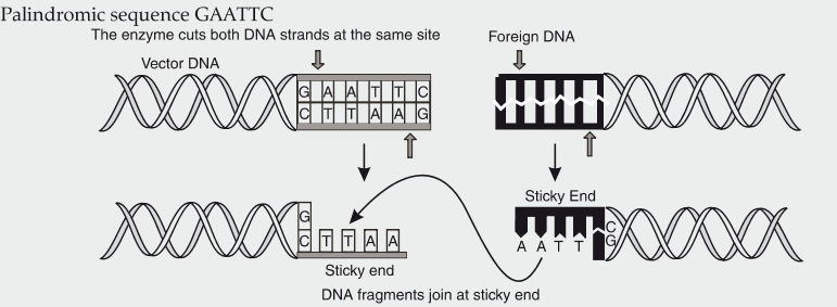 Eco RI is used to cut a segment of foreign DNA and that of a vector ...