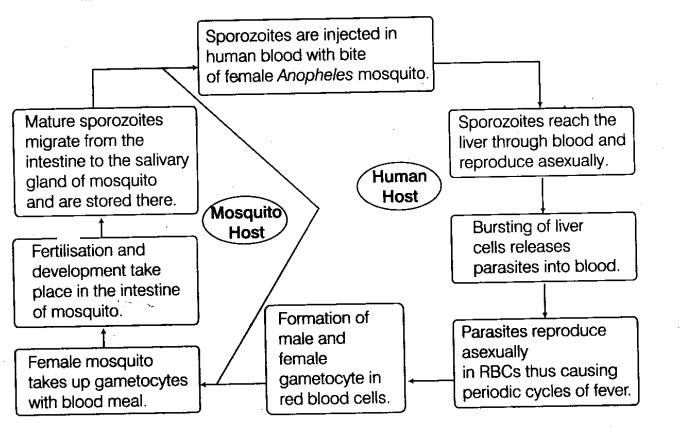 Represent schematically the life cycle of a malarial parasite - CBSE on