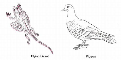 differentiate between flying lizard and bird