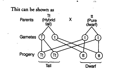 in a monohybrid test cross, involving a heterozygous tall plant (tt) and a  pure dwarf plant, the progeny consists of   tall and dwarf plants in the  ratio of