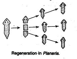 What is fragmentation in asexual reproduction