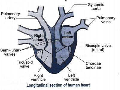 Describe internal structure of a human heart - CBSE Class ...