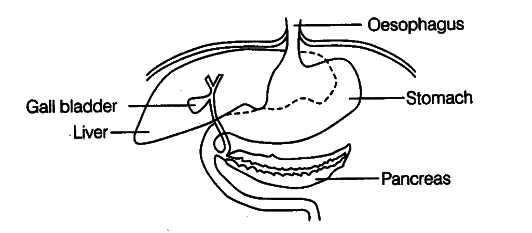 The Diagram Shows Part Of The Human Alimentary Canal Cbse Class 11