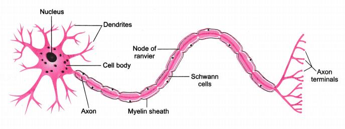 neuron structure ile ilgili görsel sonucu