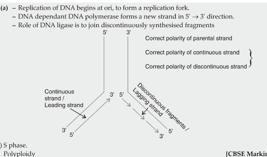 Explain the process of DNA replication with the help of