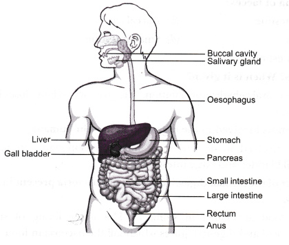Draw a labelled    diagram    of the digestive system Identify