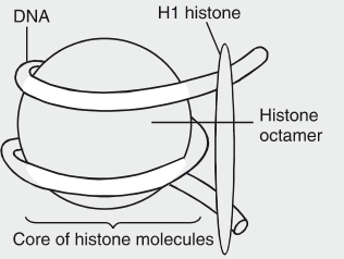 Draw a labelled diagram of nucleosome.Where is it found in a cell ...
