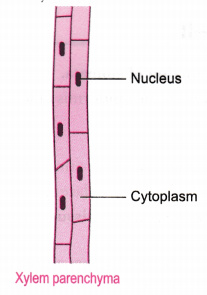 Name The Different Components Of Xylem And Draw A Living Component