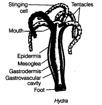 hydra cell diagram draw diagram of hydra and label the following parts ...