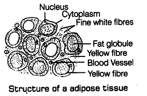 describe the structure of adipose tissue briefly with the