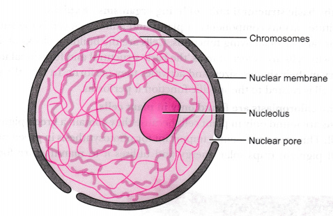 write short notes on the following cytoplasm nucleus of a cell