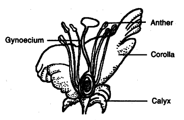 Draw the diagram of a flower and label the four whorls write the draw the diagram of a flower and label the four whorls write the names of gamete producing organs in the flower ccuart Gallery