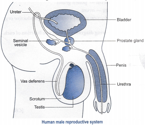 Draw a labelled diagram of a human male reproductive system - Class ...