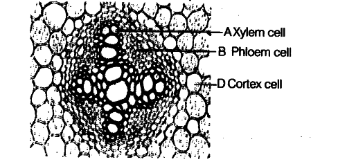 the diagram shows a transverse section cbse class 11 biologythe diagram shows a transverse section of the central portion of a root of a dicotyledonous plant through which tissue are sugars and amino acids