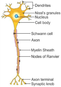Draw a labelled diagram of a neuron - CBSE Class 11 - Learn CBSE Forum