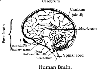 1. Draw a neat diagram of human brain and Label Medulla ...